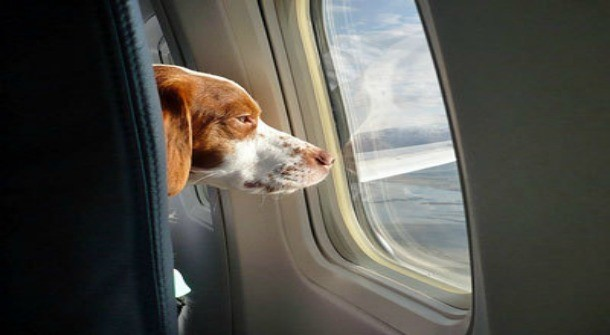 Flying with your Service Animal or Emotional Support Animal ...