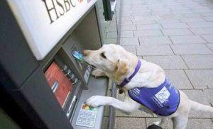 smart labrador retriever service animal using an ATM