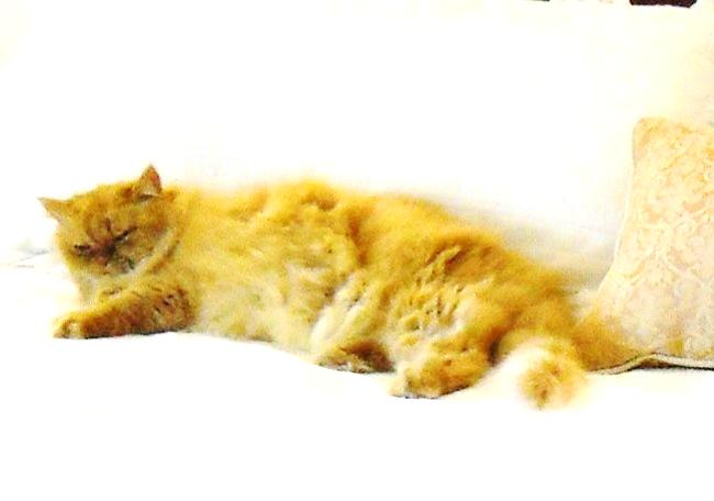 fluffy orange cat named Cuddles